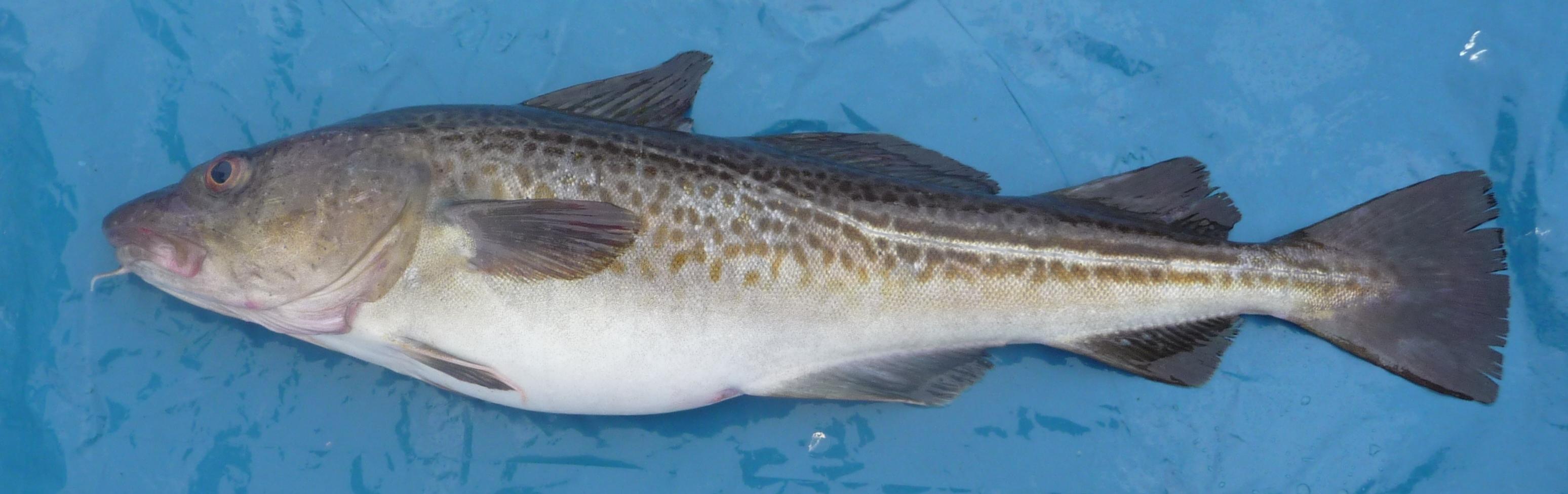 Dorsch Fisch